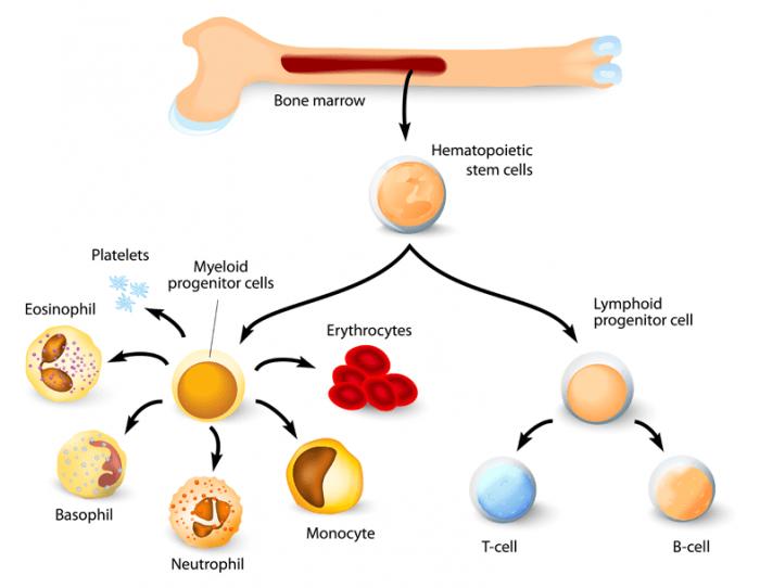 Stem Cells and Bone Marrow